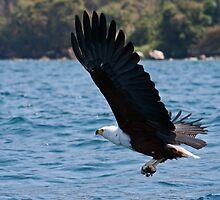 Stunning fish eagle at Lake Malawi by Tim Hughes