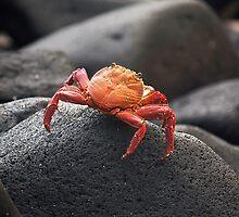 Grapsus grapsus (red rock crab) by becks78