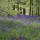 Bluebell Wood by Adamdabs