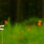 Daisies by jesrtl