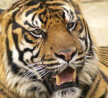 Bengel Tiger by kellimays