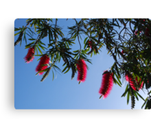 Aussie Reds in the Morning Sun Canvas Print