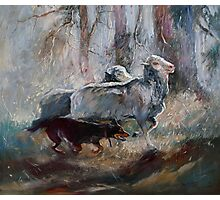 Kelpie Sheep Herder Photographic Print