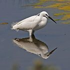 Little Egret searching for lunch by Hugh J Griffiths