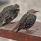 Juvenile Common Starlings by Hugh J Griffiths