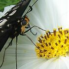 Butterfly alights- Dainty Swallowtail (Papilio anactus) on Cosmos by PinkDinoDesigns