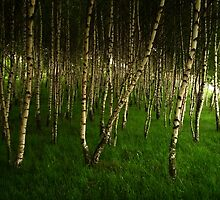 Birches by LukeMajewski