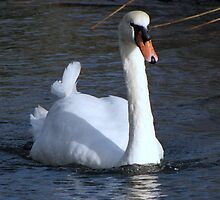 A very fine swan indeed.......... by Sharon Perrett