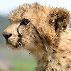 Young Cheetah Cub by Debbie Schiff