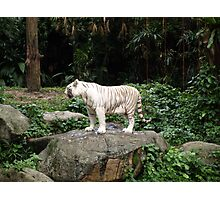 White Siberian Tiger  With Tongue  Out  Photographic Print
