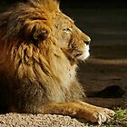African Lion by caqphotography
