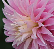 Oh dear, my Dahlia by Kathy Yates