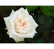 White Rose With Natural Garden Background Photographic Print