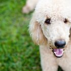 Luca the Standard Poodle by Charlotte Reeves