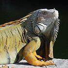 Iguana in the Florida Keys by aura2000