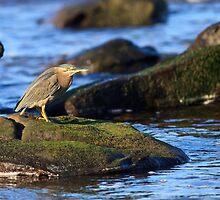 Striated Heron by David de Groot