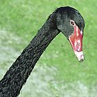 Black Swan - Hervey Bay, Queensland, Australia by Bev Pascoe