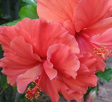 Hibiscus Flowers by Lozzie5243