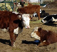 Hereford cows by Jan  Tribe