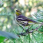 Warbler by eliz134