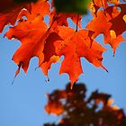 Maple Leaf by eliz134