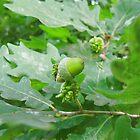 green oak acorn by robertpatrick