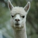 Llama Glama - Martins Creek NSW by CasPhotography
