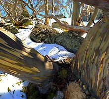 Alpine Eucalypt  Charlotte Pass .NSW. by helmutk