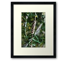 Bottle Brush Seed Pod Framed Print