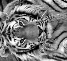 Amur Tiger by mrshutterbug