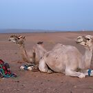 Camels in the Moroccan desert by ivanpackerphoto