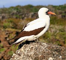 Nazca Booby by Laurel Talabere