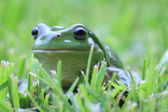 Green tree frog by Anna Koetz