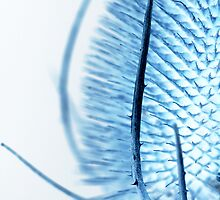 Inverted Teasel by MartinWilliams