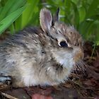 Sweet Baby Bunny by NatureGreeting Cards ©ccwri