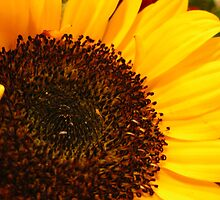 Macro Shot of a Sunflower  by BethCarrDesigns