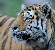 amur tiger by peterwey