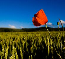 Head of a poppy in a field of corn by Ellamey