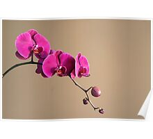 Magenta Orchids Poster