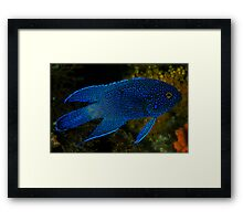Southern Blue Devil Framed Print