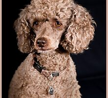 Posed Poodle by Jodie Johnson