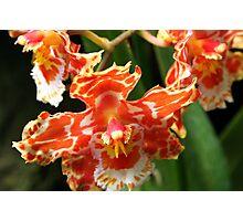 Orange & White Orchid (cambria & odontoglossum hybrid) Photographic Print