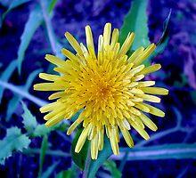 Dandelion by robertpatrick