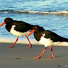 Pied Oystercatchers at Sunset by byronbackyard