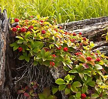 Red Berries on a Log by Ken  Bennison