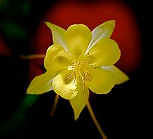 Yellow Columbine by Pamela Hubbard