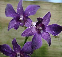 Purple Orchid-after the rain by anac1979