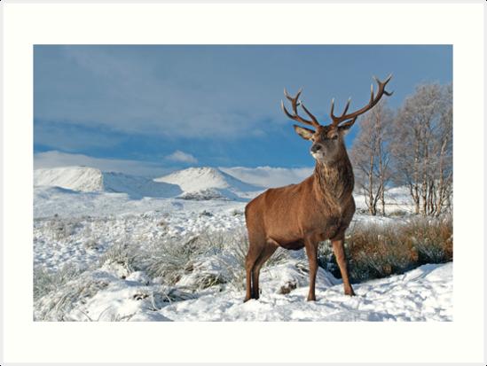 Deer-Stag by Grant Glendinning