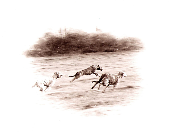Wolfhounds Coursing by oulgundog