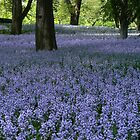 Bluebells under the trees by MischaC